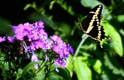 Butterfly In Flight Prints - Butterfly In Flight Print by Peggy  Franz