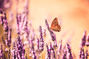Azur Prints - Butterfly in lavender field Print by Matteo Colombo