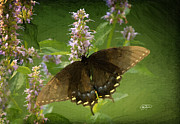 Cris Hayes - Butterfly in Oil