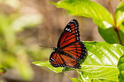 Natural Focal Point Photography - Butterfly in the...