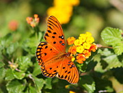 Christiane Schulze Prints - Butterfly In The Glades - Gulf Fritillary Print by Christiane Schulze