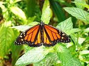 Van Ness - Butterfly in the Plants