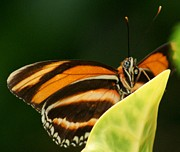Orange And Brown Wings Posters - Butterfly looking at you Poster by Gail Matthews