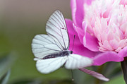 Nobility Photos - Butterfly Love Dance on Peony by Jenny Rainbow