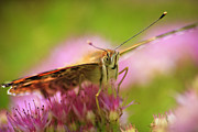 Flora Photos - Butterfly Macro by Adam Romanowicz