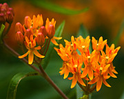 Abstract Flowers Photos - Butterfly Milkweed by Adam Romanowicz