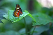 Emporium Photos - Butterfly on a Leaf by Gordon Elwell