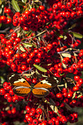 Close Up Art - Butterfly on berry bush by Garry Gay