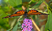 Susan Leggett - Butterfly on Butterfly...