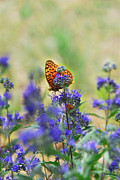 Woodland Violet Photos - Butterfly on Catmint Flower by Julie Magers Soulen