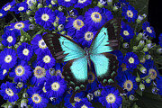 Garry Gay - Butterfly On Cineraria