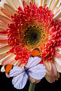 Featured Art - Butterfly on daisy by Garry Gay