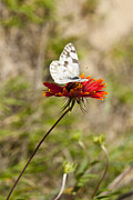 State Flowers Photos - Butterfly On Firewheel by Mark Weaver