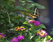 Allen Sheffield - Butterfly on Lantana