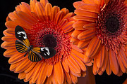 Gerbera Daisy Metal Prints - Butterfly on orange mums Metal Print by Garry Gay