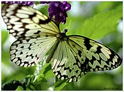 Kathleen Photos - Butterfly On Purple by Kathleen Struckle