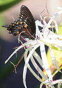 Butterfly On Flower Posters - Butterfly on String Lily Poster by Carol Groenen