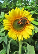 Jeepee Aero - Butterfly On Sunflower