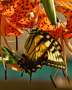 Pamela Phelps Framed Prints - Butterfly on Turks Cap Lily Framed Print by Pamela Phelps