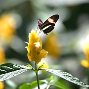 Emporium Photos - Butterfly on Yellow Flower by Gordon Elwell