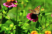 Flower Order Posters - Butterfly on Zinnia Flower Poster by Kaye Menner