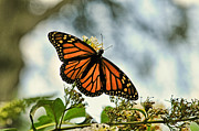 Milkweed Butterfly Posters - Butterfly - Open Wings Poster by Paul Ward