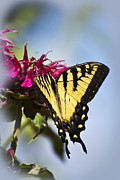 Swallowtail Butterflies Framed Prints - Butterfly Out Of The Blue Framed Print by Christina Rollo