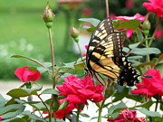 Greg Simmons Prints - Butterfly Rose Print by Greg Simmons