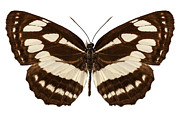 Hylas Framed Prints - Butterfly species Neptis hylas  Framed Print by Pablo Romero