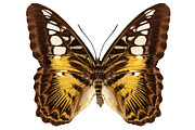 Brown Clipper Prints - Butterfly species Parthenos sylvia  Print by Pablo Romero