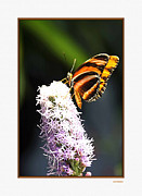 Scenery Pictures Posters - Butterfly Poster by Tom Prendergast