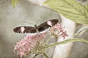 Peggy J Hughes Prints - Butterfly Whisper Print by Peggy J Hughes
