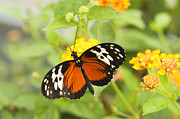 Markings Photo Prints - Butterfly Wings Print by Anne Gilbert