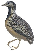 Nature Drawings Metal Prints - Button quail Metal Print by Anonymous