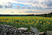 Buttonwood Farm Photo Posters - Buttonwood Farm Sunflowers Poster by Andrea Galiffi