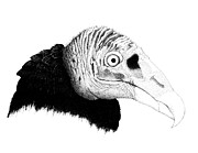 Vulture Drawings Metal Prints - Buzzard Metal Print by Julie Stubbs