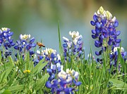 Robert ONeil - Buzzing The Bluebonnets...