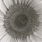 Diana Shay Diehl - BW Sunflower