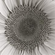 Diana Shay Diehl - BW Sunflower