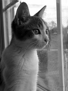 Canvas  Black And White Cat Photos - BW The Inquisitive Kitty Jackson by Thomas Woolworth