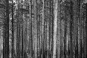 Tammy Chesney - BW Trees