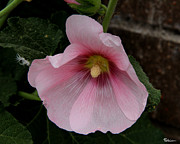 Rose Of Sharon Metal Prints - By Any Other Name Metal Print by Paul Anderson