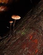 C Ribet Mushroom And Fungi Art The Sage Print by C Ribet