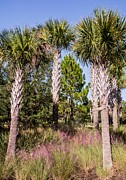 Sabal Palm Trees Prints - Cabbage palm Print by Zulfiya Stromberg