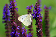 Butterfly Garden Posters - Cabbage White Butterfly Poster by Christina Rollo