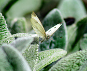 Karen Adams Acrylic Prints - Cabbage White Butterfly in Flight Acrylic Print by Karen Adams