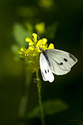 Vivid Colour Digital Art - Cabbage White Butterfly On Yellow Flower by Christina Rollo
