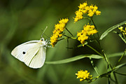 Cabbage Prints - Cabbage White Butterfly On Yellow Flowers Print by Christina Rollo