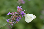 Floral Photographs Photos - Cabbage White by Juergen Roth