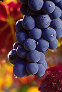 Fermentation Prints - Cabernet Cluster with Dew Print by Craig Lovell